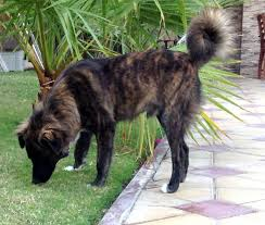 belgian sheepdog german shepherd mix view topic dog rp new and accepting chicken smoothie