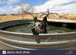 australian shepherd qld a queensland blue heeler or australian cattle dog cools off in a