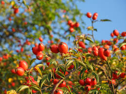 Where Can I Buy Rose Petals Rose Hips What Are They And What Can You Do With Them