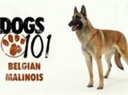 cost of a belgian sheepdog dogs 101 belgian malinois youtube