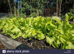 When To Plant Spring Vegetable Garden by Romaine Lettuce Growing In A Spring Vegetable Garden In Issaquah