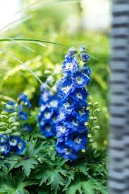 delphinium flower delphinium flower of the day hgtv