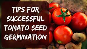 how to plant tomato seeds indoors tips for fast growth start