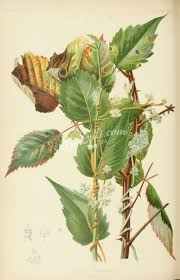 black bean aboriginal use of native plants best 25 dodder plant ideas on pinterest russian marriage agency