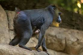 mandrill baby born at san diego zoo in 14 years nbc 7 san