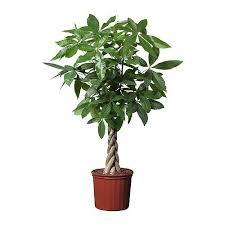 Easy Care Indoor Plants Easy Care Plaited Money Tree Pachira Aquatica Elegant