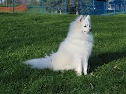 american eskimo dog short hair american eskimo dog wallpapers hd download