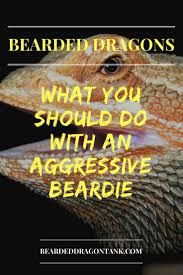 Bearded Dragon Behavior Before Shedding by Got An Aggressive Bearded Dragon Here Is What You Do Bearded