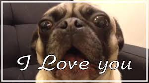 Cute I Love You Meme - pug saying i love you funny pug vines youtube