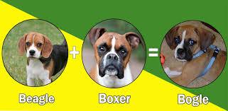 boxer dog breeders near me most popular boxer dog cross breeds designer breeds