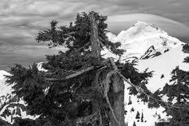 alpine trees pentaxforums
