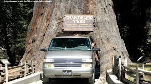 chandelier youtube chandelier tree drive thru tree park leggett california youtube