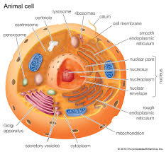 Cell Membrane Worksheet Cell Membrane Controls What Goes In And Out Of The Cell B