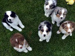 australian shepherd puppies near me akc asca australian shepherds puppies for conformation agility