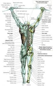 Anatomy Of Human Back Muscles Best 25 Body Muscles Names Ideas On Pinterest Names Of Muscles