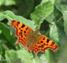 adur butterfly u0026 other arthropods list 2012