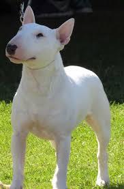 affenpinscher calgary canadian kennel club club canin canadien