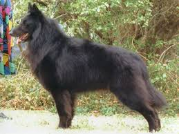 belgian sheepdog breeds lisa leffingwell belgian sheepdog puppies for sale