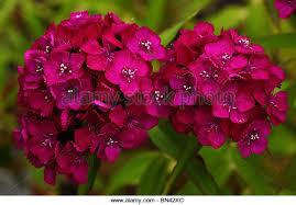 Purple Carnations Carnations Flowers Stock Photos U0026 Carnations Flowers Stock Images