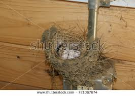 Barn Swallow Nest Pictures Barn Swallow Nest Stock Images Royalty Free Images U0026 Vectors