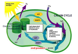 The Light Reactions Of Photosynthesis Use And Produce Fhs Bio Wiki Photosynthesis Light