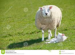 sheep and lamb royalty free stock photography image 18897527