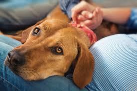 australian shepherd overprotective 5 ways dogs can tell when women are pregnant u2013 iheartdogs com