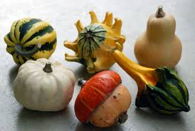 growing miniature gourds the modern gardener