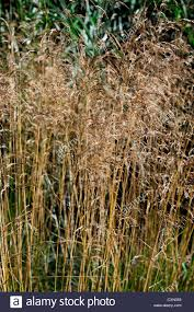 deschsia cespitosa goldtau grass grasses ornamental plant