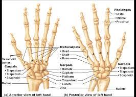Normal Bone Anatomy And Physiology Hand Bone Photos Human Right Hand Wrist Bone Structure