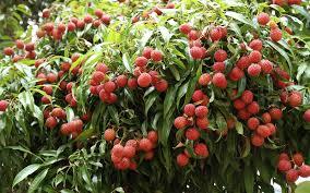 tropical fruit trees punta gorda