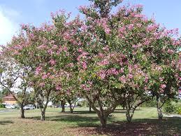 chinese elm tree arizona elm tree ulmus parvifolia buy