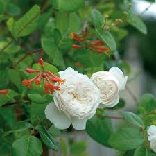 Very Fragrant Plants Sombreuil Most Fragrant Popular Searches