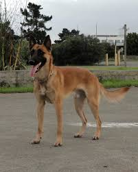 belgian shepherd exercise requirements gusto jpg