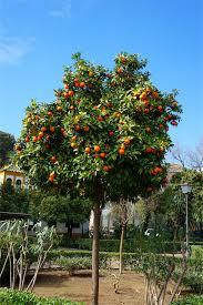 best orange tree best 25 miniature fruit trees ideas on pinterest