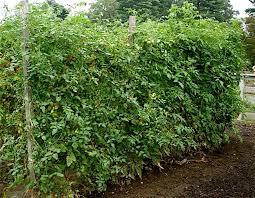 8 Foot Trellis How To Support Tomatoes Bonnie Plants