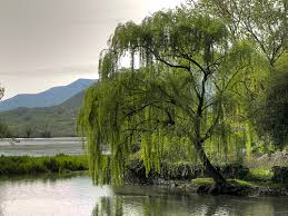 the willow tree shtf trees and remedies