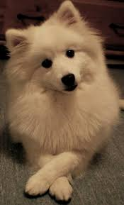 american eskimo dog growling 1699 best images about dogs on pinterest
