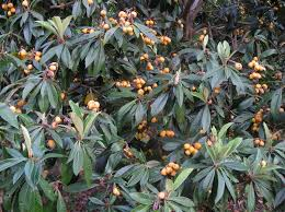 christmas loquat tree just fruits and exotics