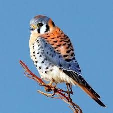 Oklahoma birds images Best 25 american kestrel ideas kestrel small jpg