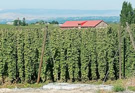 how to grow organic hops