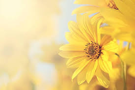 flowers images free yellow flowers images pictures and royalty free stock photos