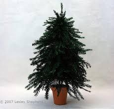 miniature christmas tree peeinn com
