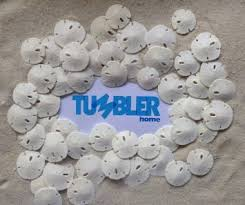 Where To Buy Sand Dollars Buy Set Of 9 Unbleached Sand Dollars And 1 Murex Sea Shell All