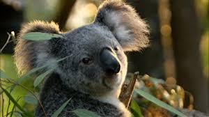 cracking the koala code koala fact sheet nature pbs