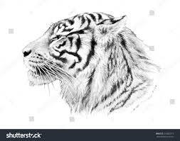 tiger illustration hand drawn sketch tiger stock illustration