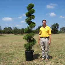 glen flora farms wholesale trees topiary brodie