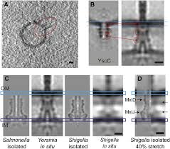 in situ structural analysis of the yersinia enterocolitica
