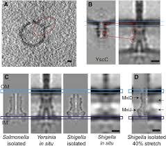 in situ structural analysis of the yersinia enterocolitica
