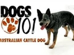australian shepherd 60 minutes dogs 101 australian cattle dog youtube
